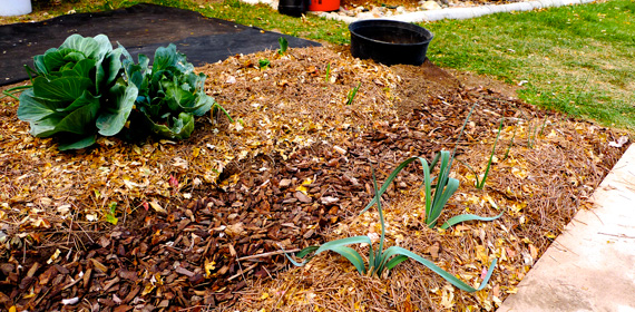 regrown cabbage, onions and new plants sown by a regrown leek, almost ready in their bed for winter