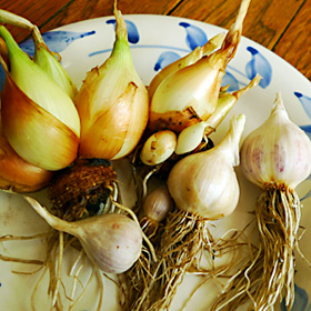 regrown onions and garlic from kitchen scraps