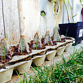 leek seedlings started in egg cartons