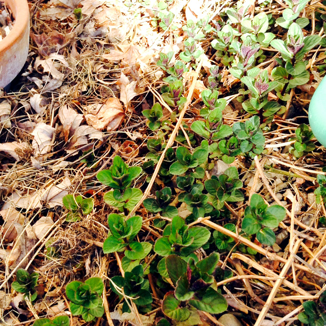 New mint leaves poking through the winter mulch